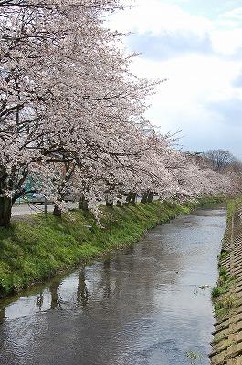 ichuusakura1.jpg