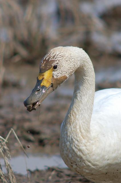 swan08030600.jpg